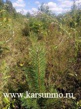 В Карсунском лесничестве проведена инвентаризация лесных культур